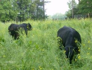 a 18 month old 1400 lb bulls
