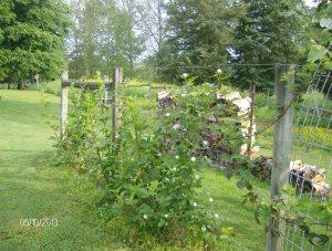 a Kiowa berries planted last year