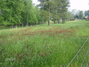 a paddock broadcast with crimson clover