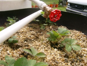 AQUAPONIC STRAWBERRIES IN GRAVEL