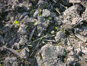 germinating where it is damp
