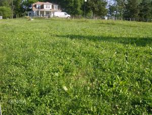 white dutch clover taking over