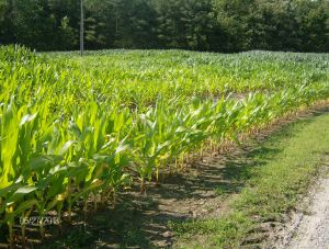 corn suppressed by water in field