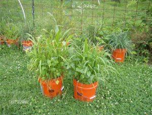 cover crop in buckets