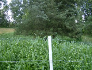 cover crop nearly five feet tall