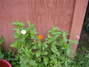 zinnias at the stable