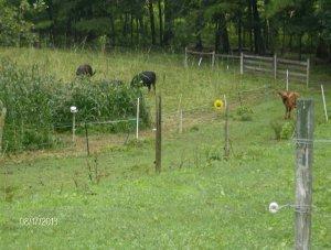 2 cows 2 heifers, 3 days