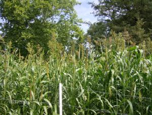 MILLET CATCHING THE SORGHUM SUDAN