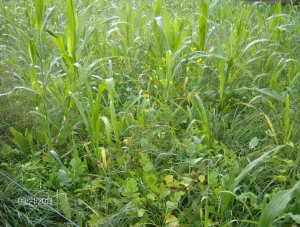 HODGE PODGE COVER CROPS...SUMMER AND FALL