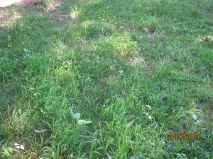 crabgrass and cover crop 2