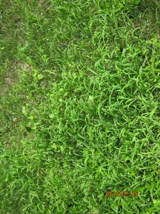 crabgrass and cover crop