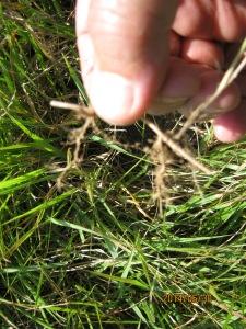mystery grass spreads by rhizomes