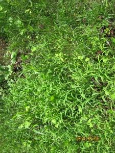 new crabgrass