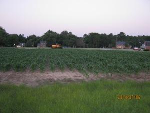 sweet corn plot 2