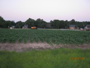 sweet corn plot 2