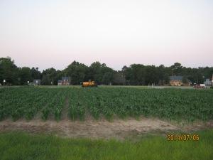 sweet corn plot