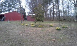 daffodils around the dog graves