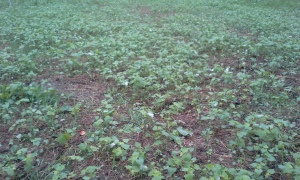buckwheat reseeded heavily here