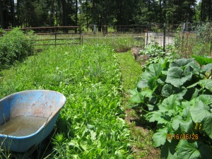 CHICORY AND CLOVER COVER CROP