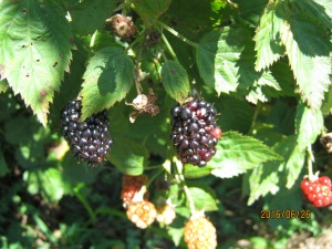 GETTING A FEW BLACKBERRIES