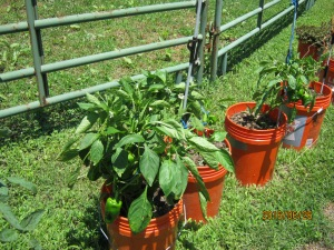 PEPPERS IN PAILS