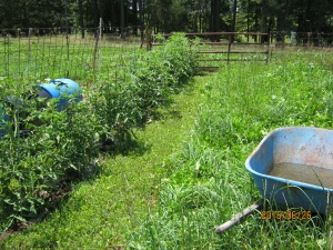 TOMATOS, 3 PLANTINGS 3 VARIETIES