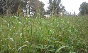 grazing forge six feet tall