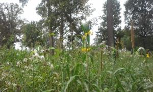 sun hemp blooming and peas reaching up