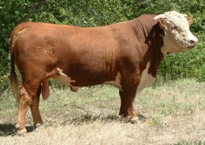 horned-hereford-bull